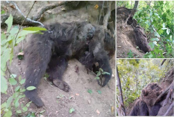 Urs mort la Bijghir la 8 km de Centrul Bacăului