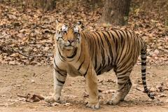 Covid19 atacă şi animalele Lei şi tigri de la grădina zoologică din Washington depistaţi pozitiv