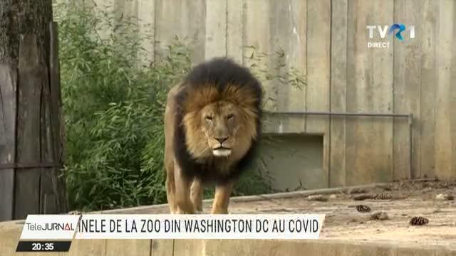Coronavirusul a lovit în plin grădina zoologică din capitala Statelor Unite și a infectat întreaga populație de feline mari