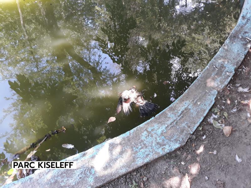 Dezastru în parcurile din Sectorul 1 În Parcul Kiseleff porumbeii morț plutesc pe lac Cu toate astea Clotilde Armand vrea și Cișmigiul