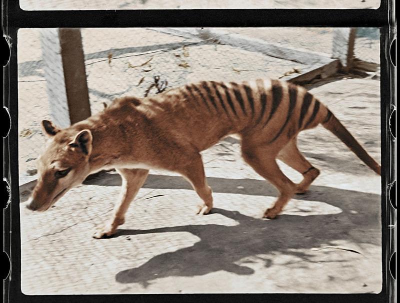 Un film cu ultimul tigru tasmanian dispărut acum 85 de ani a fost refăcut color