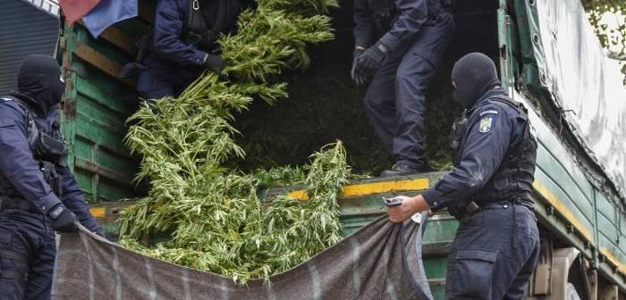 Plantatie de cannabis can filme descoperita in gradina unui tanar din Timisoara Operatiune fulger a procurorilor DIICOT si politistilor de la Crima Organizata